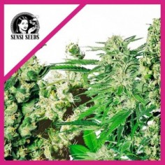 SEEDS BANK BLACK KALI FEM X3