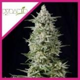 CALIFORNIA HASH PLANT FEM X3-DINAFEM