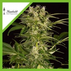 ROYAL QUEEN SEEDS BUBBLEGUM XL X3