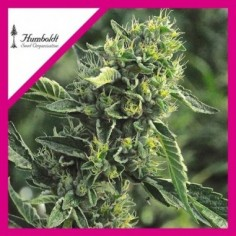ROYAL QUEEN SEEDS BLUE MISTIC X1