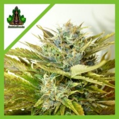 ROYAL QUEEN SEEDS AUTO QUICK ONE X1