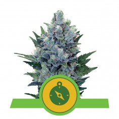 PYRAMID SEEDS BLACK CHERRY...
