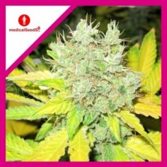 ROYAL QUEEN SEEDS BLUE MISTIC X3
