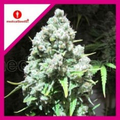ROYAL QUEEN SEEDS AUTO JACK HERER X3