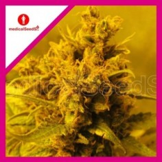 SWEET SEEDS FEM GREEN POISON 3+1