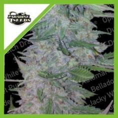 SWEET SEEDS CREAM MANDARINE F1 3+1