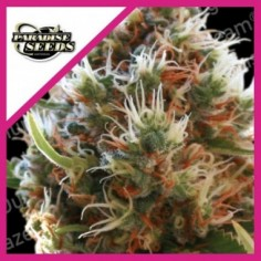 SWEET SEEDS RED FAMILY RED POISON AUTO 3+1