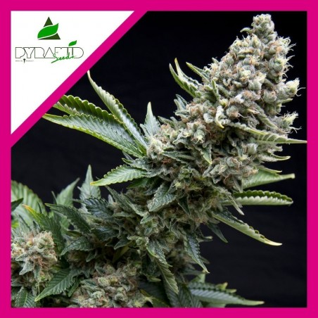 GROW GENETICS AMPOLLETA HPS...
